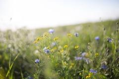 Klee-Sonnenblume-5